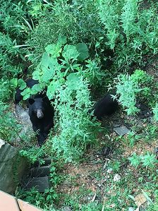 July 2018... a great view of Momma and her cubs off one of the back decks.