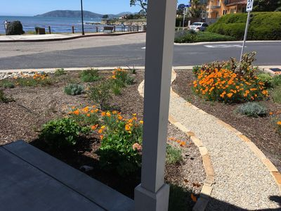 Poppies blooming along new pathway.