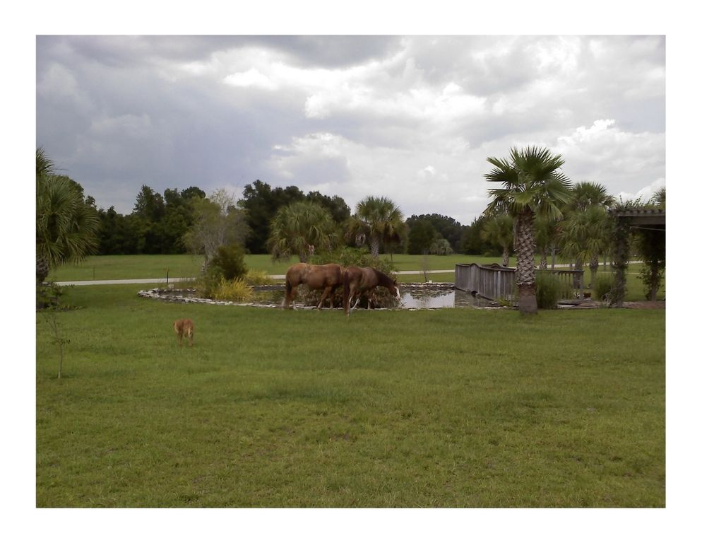 williston house rental   horses grazing by the pond two hawk hammock  family reunion vacation home   horses wel e      rh   homeaway co uk