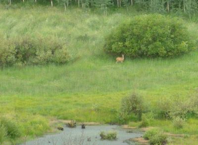 Fawn at the pond