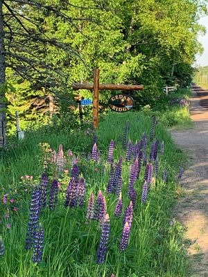 During much of the summer, the Lupines will welcome you to Cedar Ridge.