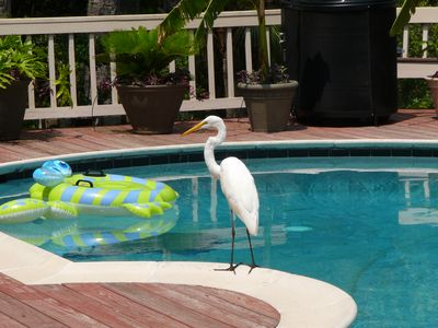 One of our locals enjoying the pool  before our deck was redone.....