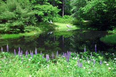 Lupines run wild near the pond, turtles and frogs