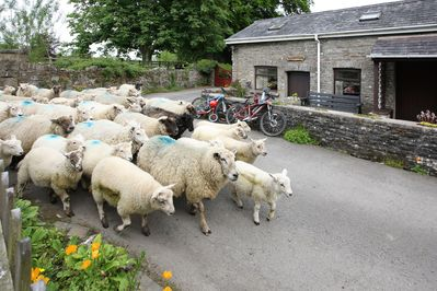 Sheep passing Bwthyn Y Saer holiday cottage