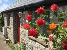Roses blooming outside Swallow cottage