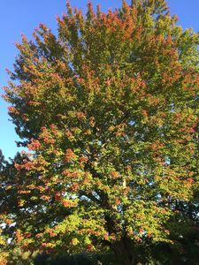 Love this tree in the Fall!