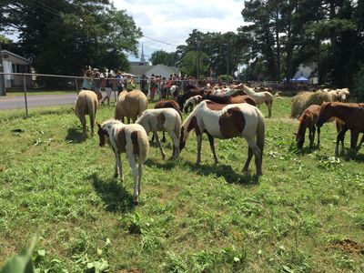 Chincoteague ponies at the carnival grounds