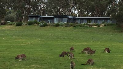 Resident Roos mow the steep slopes