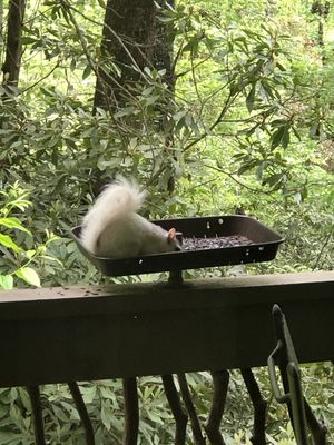 One of our many White Squirrels