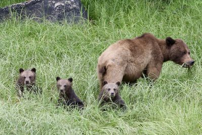 Mother grizzly with 3 cubs