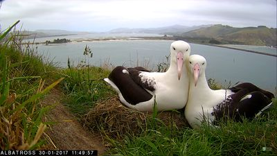 Royal Albatross and true love, just minutes down the road