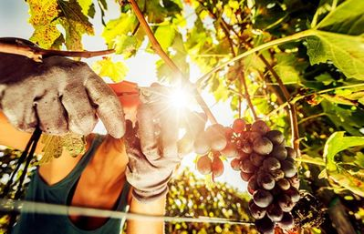 Photo for Picking grapes in Tuscany, cooking workshops, dinners, and accommodation: 395 a week.