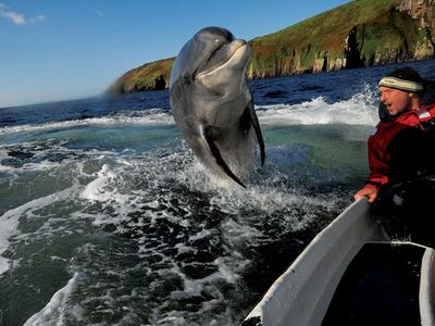 Fungie the dolphin around Dingle.