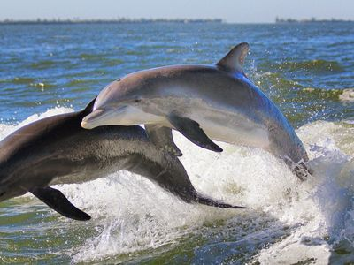 The dolphins in the gulf LOVE to play in the wake of boats passing by!