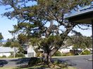 The landmark pine tree on the corner at the front of the house.