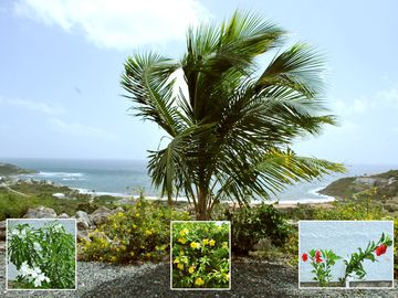Vineyard, Sint Maarten