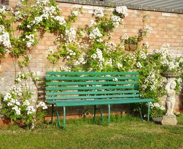 Front garden bench with Rambling Rector Roses