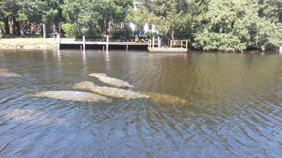 Manatees in (Sea) Cow Creek