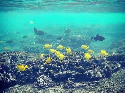 Snorkeling at Kahalu'u Beach.  Just up the road from the rental.