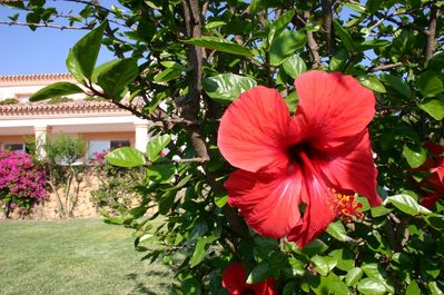 Hibiscus is one of many plants in the garden