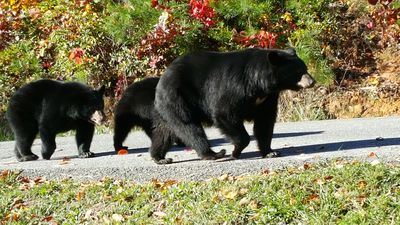 Momma and two of her three cubs walking down the road in front of Cloudy Dreams.