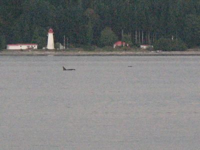 Orcas from backyard