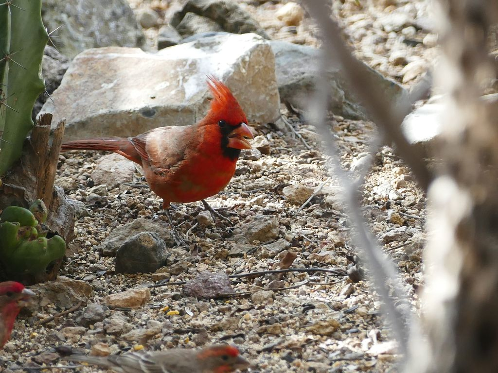 The tint shop inc 187 long island 187 page 7 - Northern Cardinal Just One Of The Many Backyard Birds