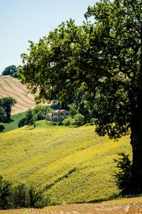 View of the property from the hills: oaks and sunflowers