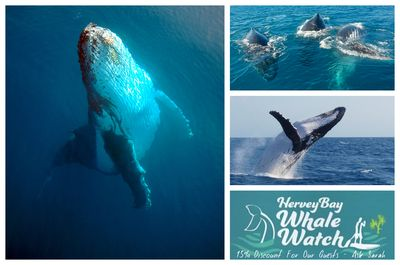These beautiful and stunning Humpback Whales have arrived!  here 'til end of October. Just ask me when booking 545 about your 15% discount and see for yourself close up, these awesome creatures in the Best Whale Watch Sanctuary In The World