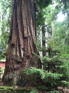 Old growth redwoods right out side your door!