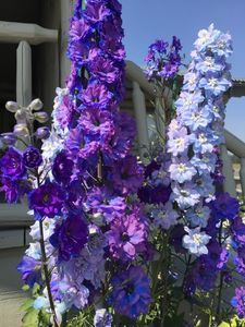 front garden planted with historically correct glacier Park Lodge Delphiniums