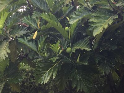breadfruit tree in the front yard