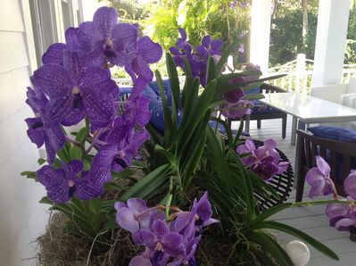 Our signature orchids by the front door and in the trees around the property