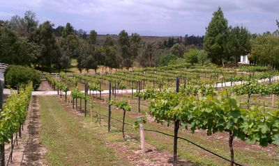 Muscat Cannelli vineyard....Guest House sits along right side of vineyard.