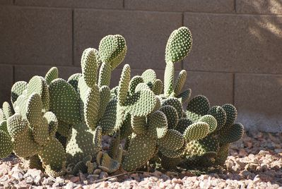 Prickly Pear Cactus...Keep Inflatables Away!