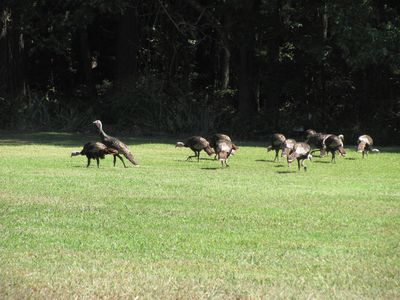 Wild Turkey's in the Front Yard looking for a quick bite of food