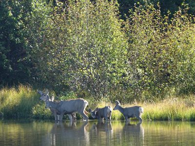 Deer family crossing the river in front of the cabin.