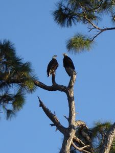 A couple of regular visitors to the property - bald eagles