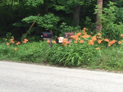 Daylilys at the roadside in front of cabin