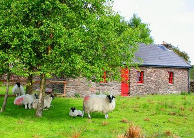 Sheep visiting one of 4 cottages in the Barralach 'village' and sheep farm
