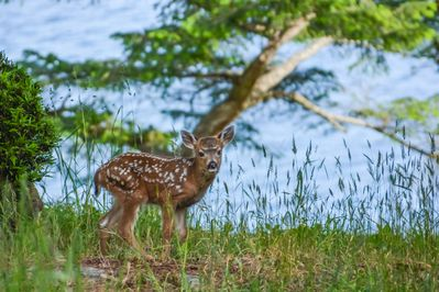 A baby deer follows his mother along the water's edge right near the house.  There is so much nature in the Islands and you'll find it here at Channel House too.