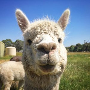 This is Chance, one of the alpacas you'll meet on our farm.