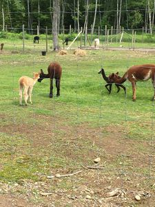 Get to know our Alpacas
