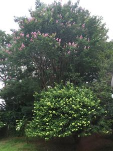 Two of our favorite plants by pool-Gorgeous mature Crepe Myrtle & Tree Hydrangae