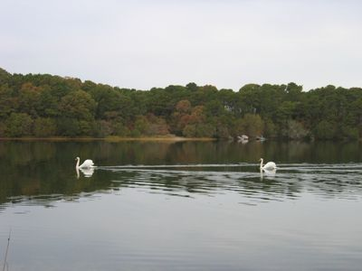 Swans on White Pond