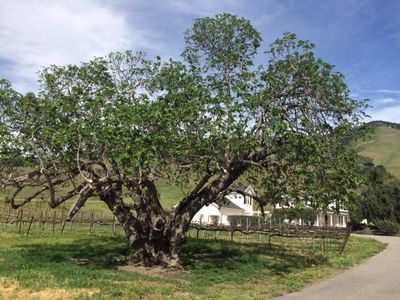 Higuera Ranch: Fig Tree and Main House