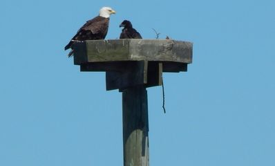 Protective parent is protecting babe from threatening osprey-Photo from our deck