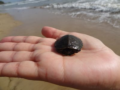 Turtles hatch during the year and if you are lucky, you see them on the beach