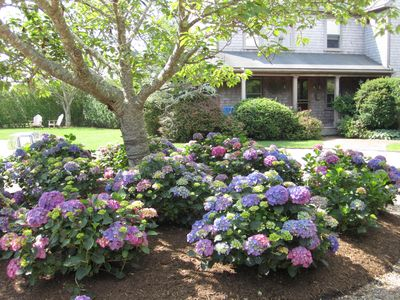 Hydrangeas abound in every garden