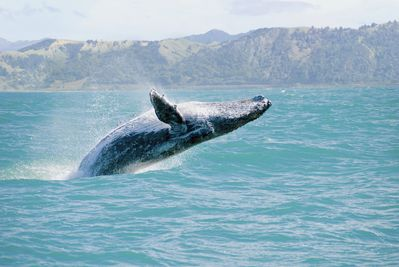 Winter Months Bring Migrating Whales  to Kealakekua Bay